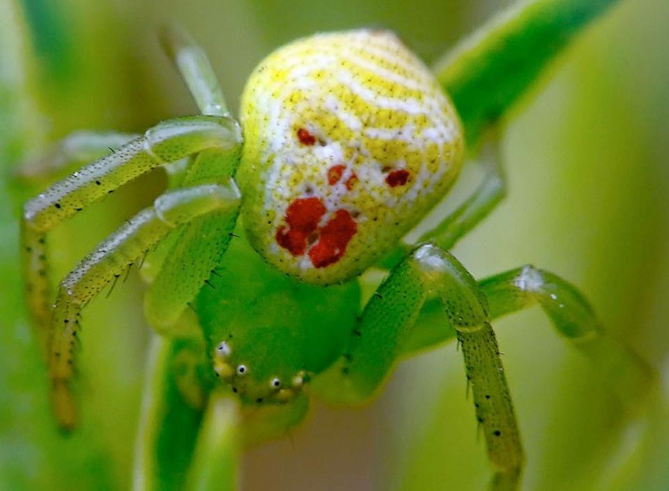 hvid edderkop